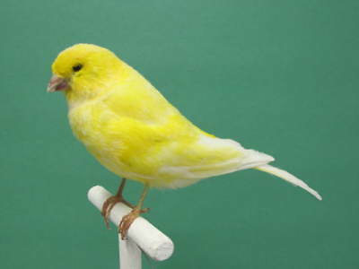 Bright Yellow Canary Real Bird Taxidermy Mount