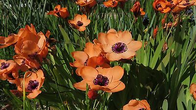 Sparaxis elegans orange form, 5 bulbils