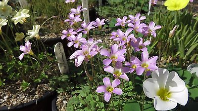 Oxalis commutata, 10 small bulbils