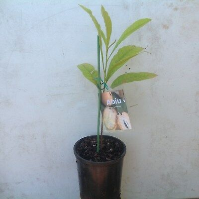 Abiu fruit tree actual plant height 350mm