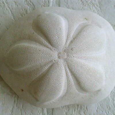 Large Sea Biscuit Natural White Seashells Nautical Home Beach Decor Shell Craft