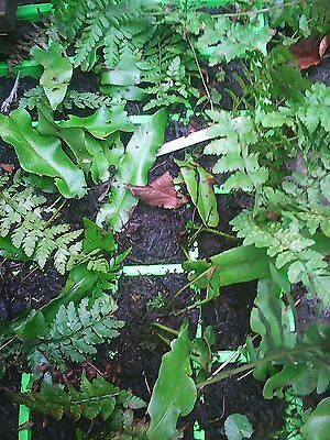 pack of 6 medium rooted older mixed fern plants,plant out in now,hardy.bare root