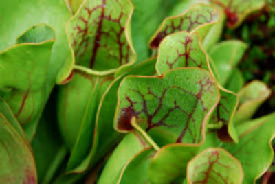 25+ Seeds Sarracenia Purpurea (not stratified) FRESH