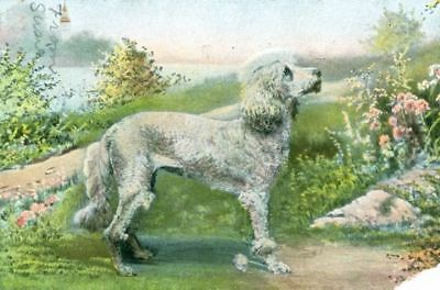 UNUSUAL Old Postcard PC White Poodle Dog Germany 1907