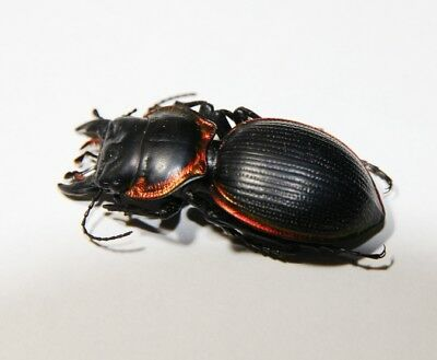 Mouhotia planipennis 51mm
