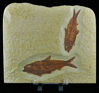 2 Two Knightia Eocaena Fossil Fish Green River Formation Wy Eocene Age 4.6 In