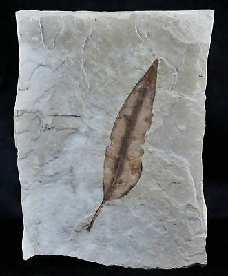Highly Detailed Rare Gymnocladus Herperia Fossil Plant Leaf 56 Million Years Old