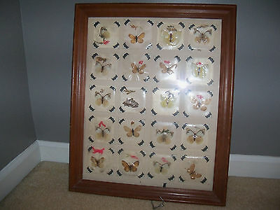 20 Real Butterflies Moths Display Taxidermy Wooden Framed 22 1/2 x 18 1/2