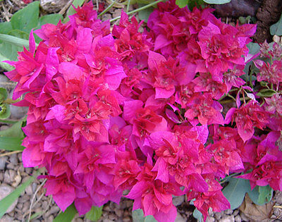 Bougainvillea double red plant. Beautiful young plant, rooty cuttings, non seed!