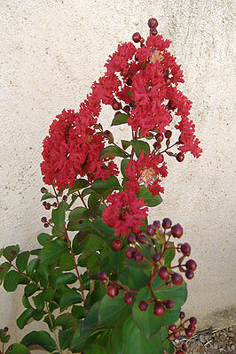 Lagerstroemia indica dynamite plant