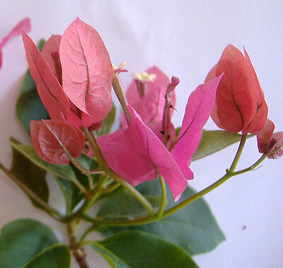 Bougainvillea orange-rose plant. Beautiful young plant, rooty cuttings, non seed