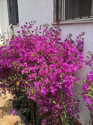 Bougainvillea glabra plant. Beautiful young plant, rooty cuttings, non seed!