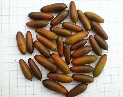 Quercus Frainetto, Quercia, Farnetto, Ghiande, Acorns, 5 Semi, Seeds, Bonsai
