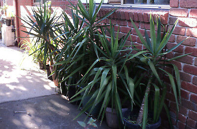Yucca plants in pot