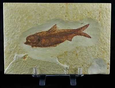 Knightia Eocaena Fossil Fish Green River Wy Eocene Age 4.7 In Long Free Stand
