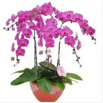100PCS Phalaenopsis Purple Orchid Seeds Seed Butterfly Flower Home Balcony