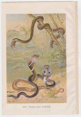 Antique 1901 natural history Rat Snake and Cobra beautiful color chromo print
