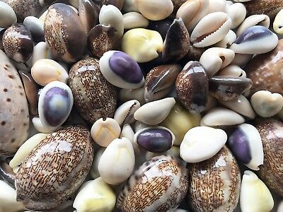 SHELLS MIX COWRIE 500g  For Craft Project, Wedding,Home, Aquarium Decoration etc