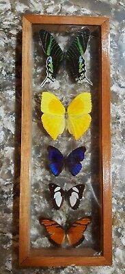 5 REAL FRAMED BUTTERFLIES display