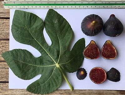 Delicious Fig Trees * Ficus Carica Var. PELLEJO DE TORO  3 fresh cuttings
