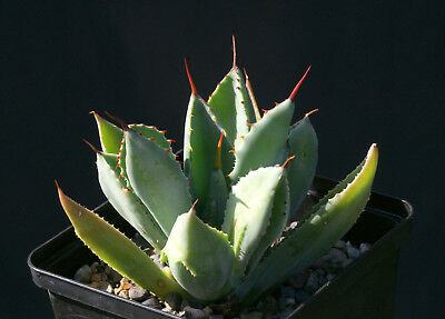 """Agave """"Cubic"""" (very rare, not variegated)"""