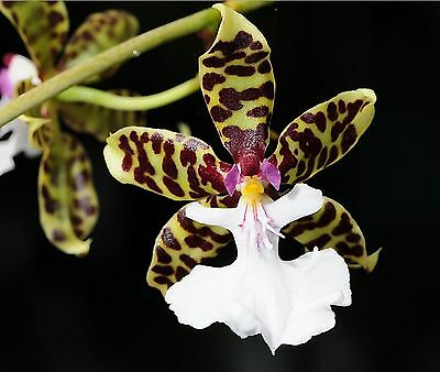 Orchid Species Oncidium leucochilum Near Bloom Size Fragrant
