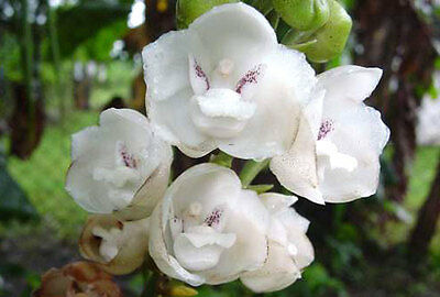Dove Orchid Species Peristeria elata Very Fragrant