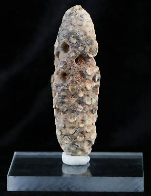 Xl Fossilized Pine Cone Replaced By Agate 45 Million Yrs Ago Morocco Seeds 2.4In