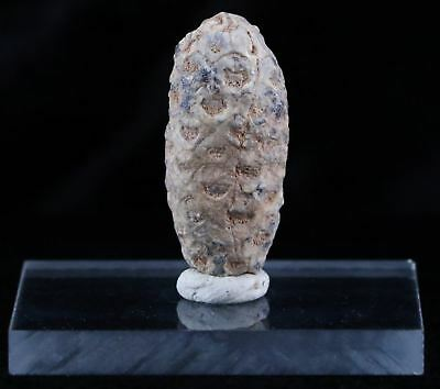 Fossilized Pine Cone Replaced By Agate 45 Million Yrs Ago Morocco Seeds 1.4 In