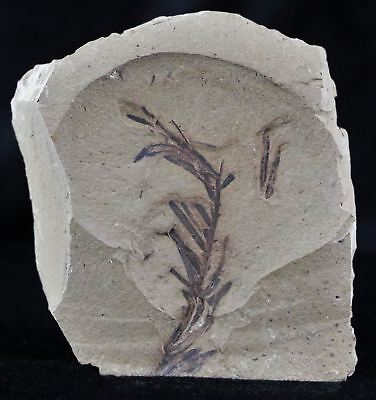 ** Highly Detailed Fossil Plant Leafs Metasequoia Dawn Redwood Oligocene Age **