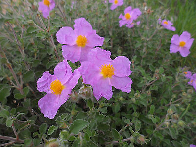 Cistus creticus, 1 PACK OF SEEDS (30 seeds)