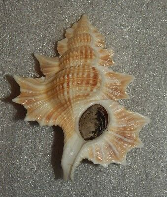 SEASHELL BIPLEX PERCA 78mm W/O