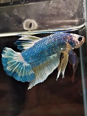 Mustard Gas HMPK Dragon Male Betta Splendens Siamese Fighting Fish