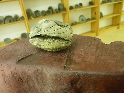DACTYLIOCERAS  .whitby uk fossil ammonite.TOP QUALITY...