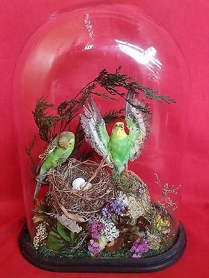 SALE!  TwoTaxidermy Parakeet Antique Victorian Style Oval Dome -Budgerigars-bird