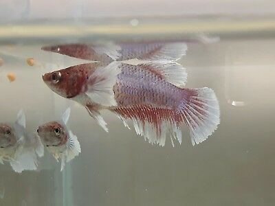 Purple White  Lavender Halfmoon Female Betta Splendens Siamese Fighting Fish
