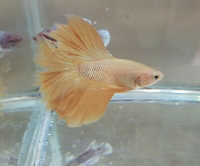 Yellow HM Male Betta Splendens Siamese Fighting Fish
