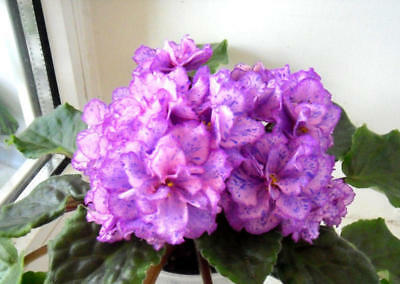 ☘ LE-KLEOPATRA ☘ CLEOPATRA ☘ African Violet Plant ☘ Plug Russian Variety 2013