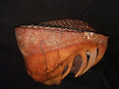 The giant tooth of MAMMOTH fossil Russia!