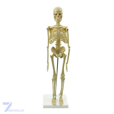 Human Anatomical Skeleton Model Stand Poster Medical Learn Aid Anatomy