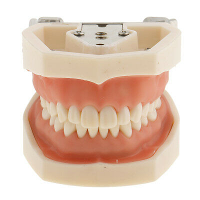 Dental Implant Teaching Study Teeth Model Typodont Demonstration Model