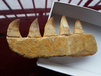 Boxed MOSASAUR DINOSAUR Fossil TEETH and JAW BONE, Cretaceous Period, Morocco