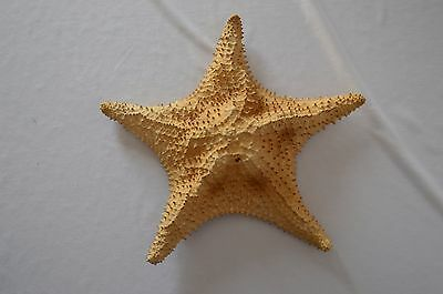 "13"" Real Starfish Great Decoration"