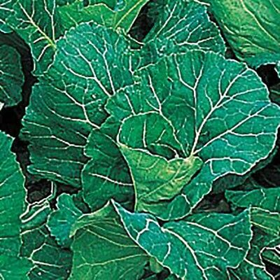 10 x Spring Cabbage F1 'Antelope' plants