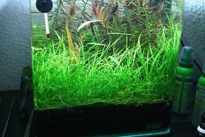 Echinodorus Tenellus Clump Pigmy Chain Sword Live Aquarium Plants BUY2GET1FREE*