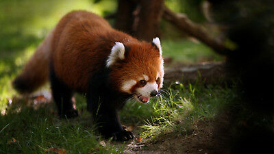 red panda forest ANIMAL FREE SHIPPING
