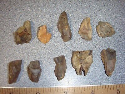 C32 Fossil Dinosaur Triceratops Shed Teeth x10