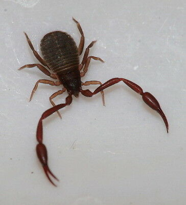 *Entomology taxidermy Pseudoscorpion arachnid Spider-scorpion-wet specimen
