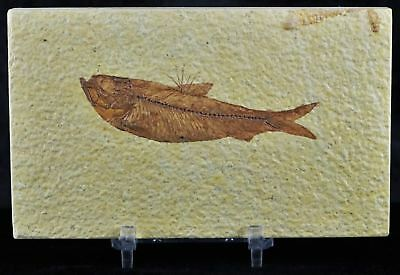 Knightia Eocaena Fossil Fish Green River Wy Eocene Age 3.4 Inches Free Stand