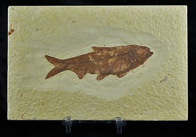 Knightia Eocaena Fossil Fish Green River Wy Eocene Age 3.8 In Long Free Stan